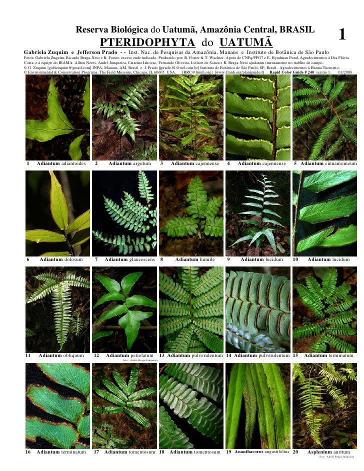 Reserva Biológica do Uatumã, Amazônia Central, BRASIL                                           PTERIDOPHYTA do UATUMÃ    ...