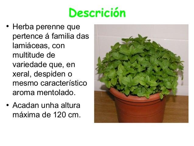 Descrición ●  ●  Herba perenne que pertence á familia das lamiáceas, con multitude de variedade que, en xeral, despiden o ...