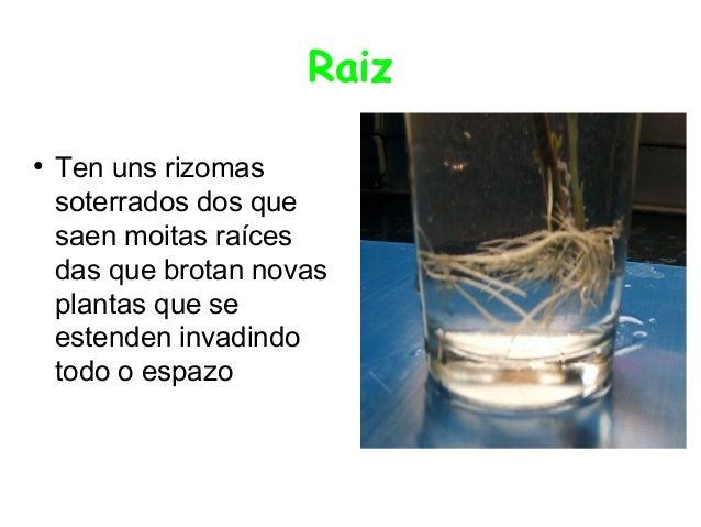 Raiz ●  Ten uns rizomas soterrados dos que saen moitas raíces das que brotan novas plantas que se estenden invadindo todo ...
