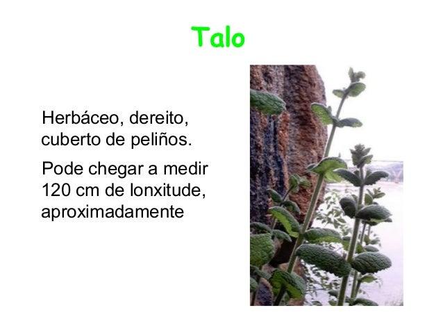 Talo Herbáceo, dereito, cuberto de peliños. Pode chegar a medir 120 cm de lonxitude, aproximadamente