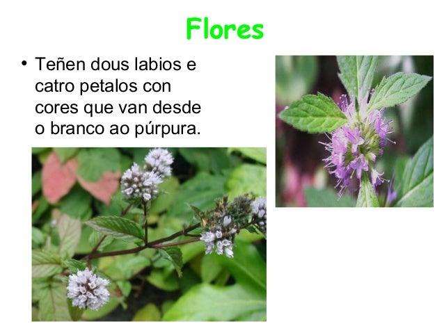 Flores ●  Teñen dous labios e catro petalos con cores que van desde o branco ao púrpura.