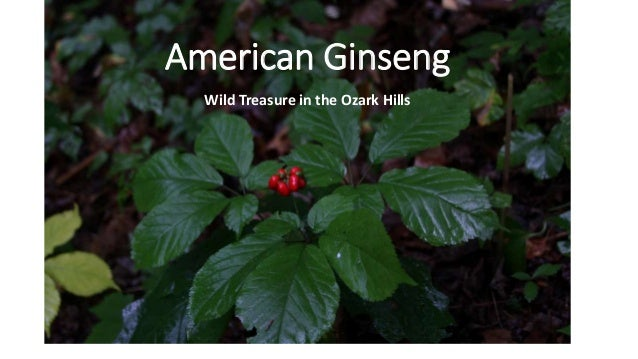 American Ginseng Wild Treasure in the Ozark Hills