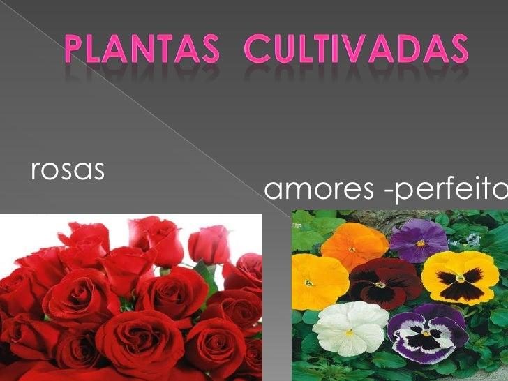 rosas        amores -perfeito