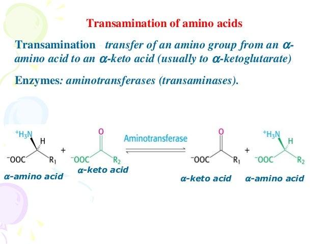 amino acids metabolism new