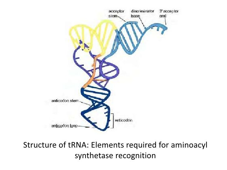 aminoacyl trna synthetase - photo #31