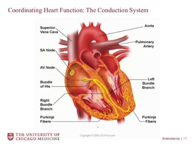 Normal Heart Function and Changes that can Occur in Scleroderma