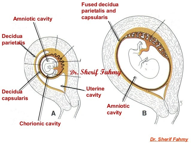 Amnion Amp Umbilical Cord General Embryology