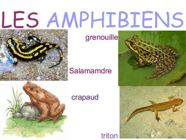 Resultado de imagen para les amphibiens
