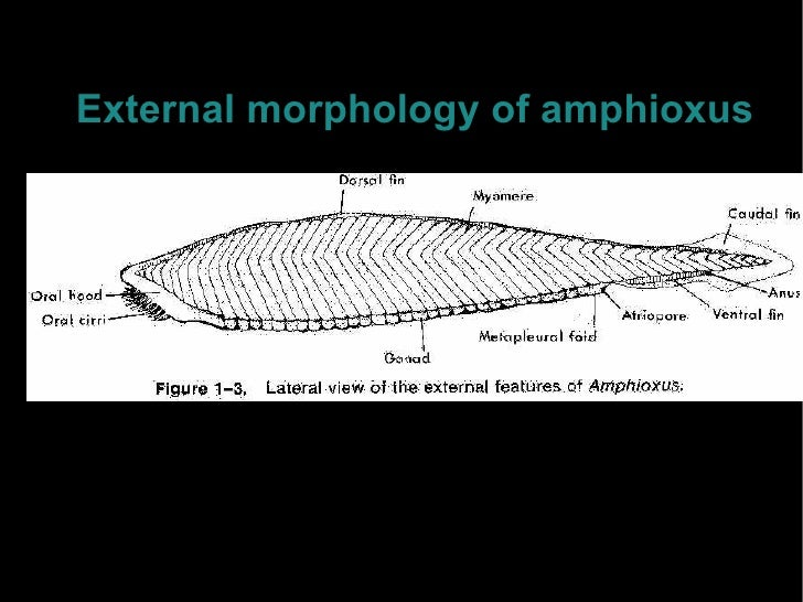 Activity 2 amphioxus is coelomatebut gretly restricted 13 external morphology of amphioxus ccuart Choice Image