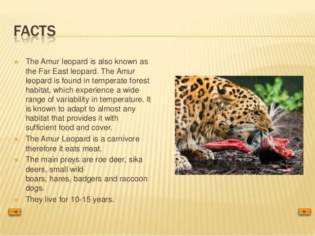 Amur Leopard 21020430 on Ur Facts For Kids