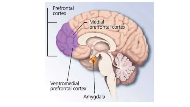 role of amygdala in the experience of fear Anger and the amygdala hijack what role does the amygdala play in  the amygdala is most often associated with fear the amygdala obtains input information from.