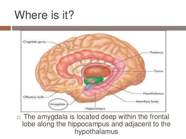 amygdala presentation