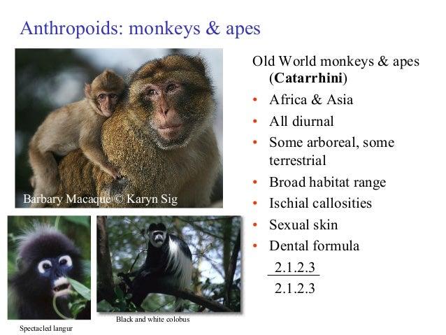 Old World Monkey Teeth Stock Photos & Old World Monkey Teeth Stock ...