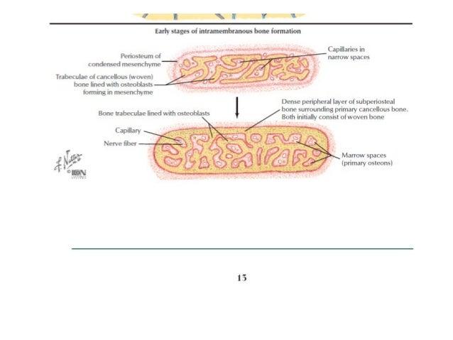 Anatomy of bone & fracture healing related to orthopaedics.
