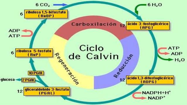 Respiración : mecanismo mediante el cual las células, en presencia de oxígeno, descomponen la glucosa para extraer la ener...
