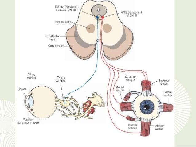 Anatomy of 3rd cranial nerve