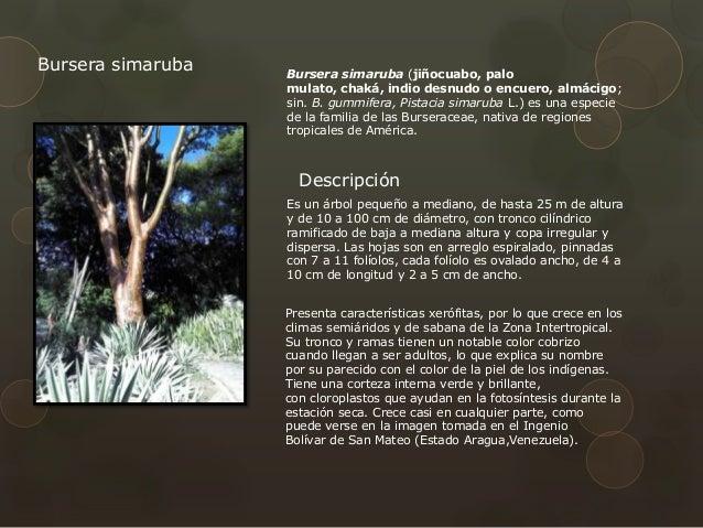 An lisis arquitect nico parque del este caracas for Cuanto mide un arbol