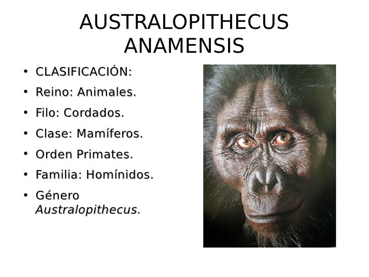 australopithecine anamensis The habitat of the australopithecus anamensis is believed to be forests and woodlands that grew around  it has a forward position in australopithecine.