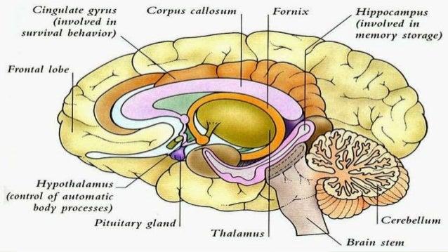 Topic of presentation Hypothalamus