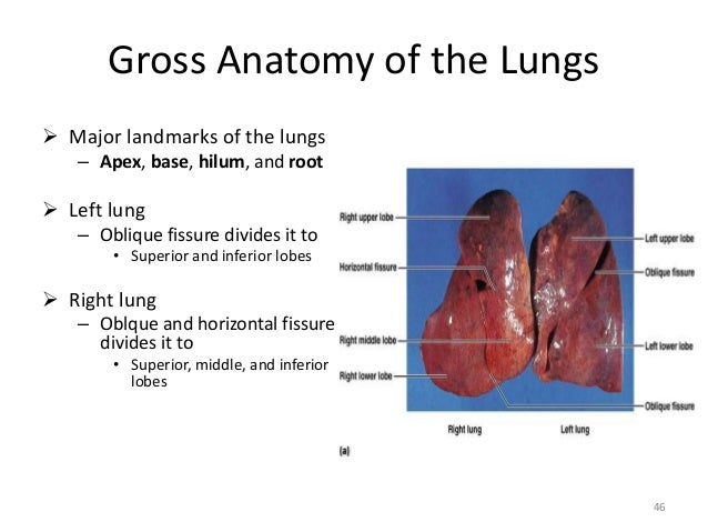 Gross anatomy of lungs