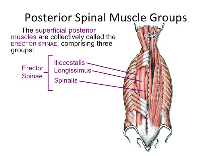 Spine muscles anatomy