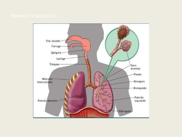 Ana Sanz Sistema Respiratorio Y Efectos Del Tabaco