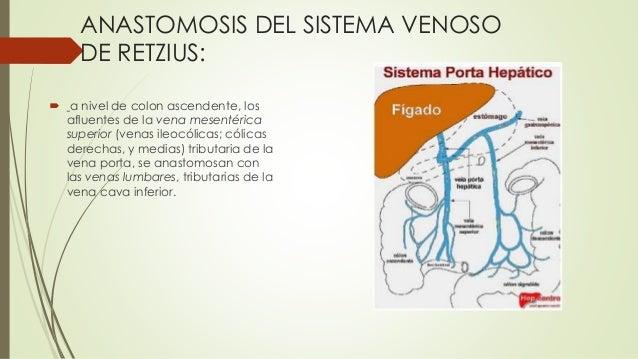 ANASTOMOSIS DEL SISTEMA VENOSO DE RETZIUS:  a nivel de colon ascendente, los afluentes de la vena mesentérica superior (v...