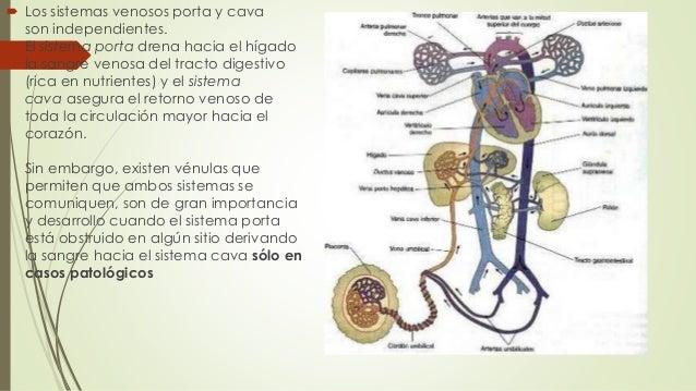  Los sistemas venosos porta y cava son independientes. El sistema porta drena hacia el hígado la sangre venosa del tracto...