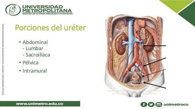 Anatomía del uréter