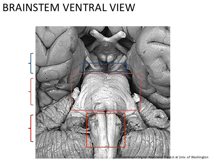 BRAINSTEM VENTRAL VIEW  Courtesy of Digital Anatomist Project at Univ. of Washington