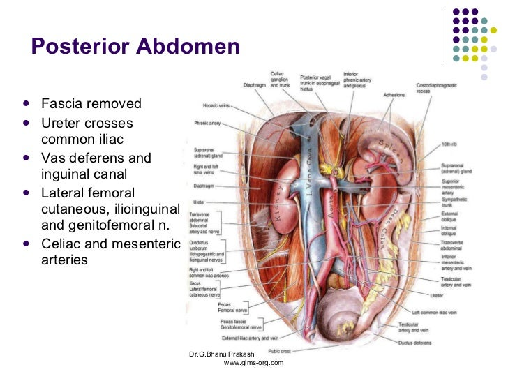 Anatomy Abdomen And Pelvis