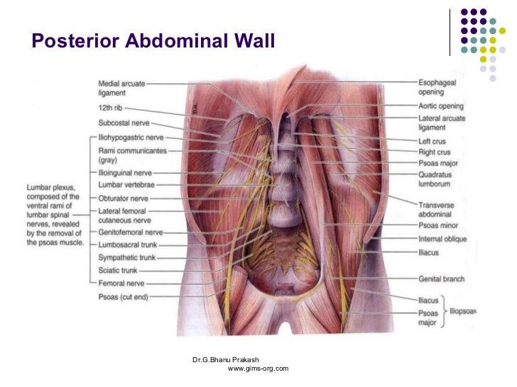 Human Abdomen Nerves Diagram - House Wiring Diagram Symbols •
