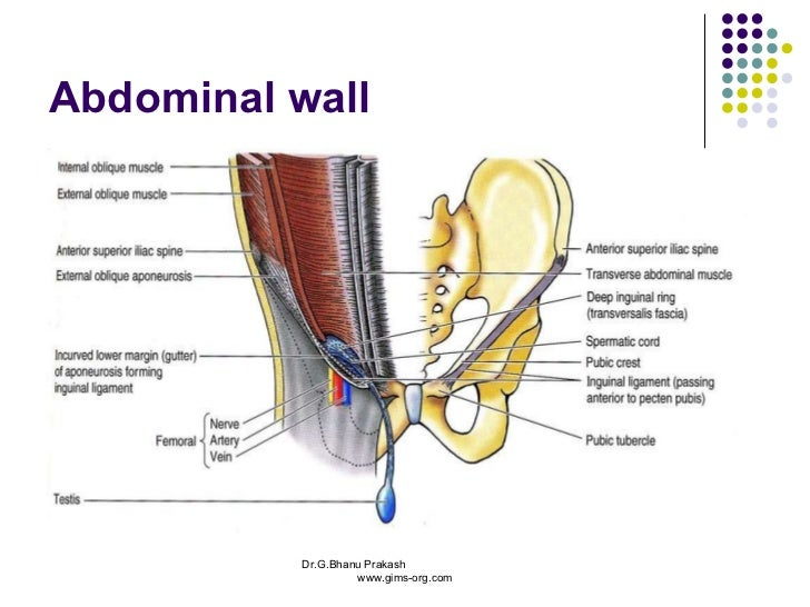 Anatomy abdomen and pelvis abdominal wall drganu prakash gims org ccuart Image collections