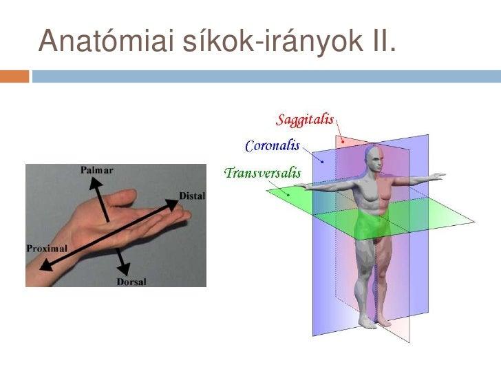 Anatómiai síkok-irányok II.<br />