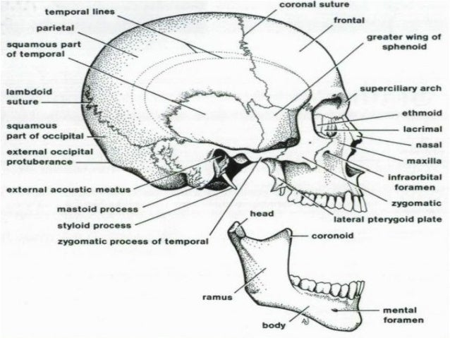 Anatomy(1) Osteology