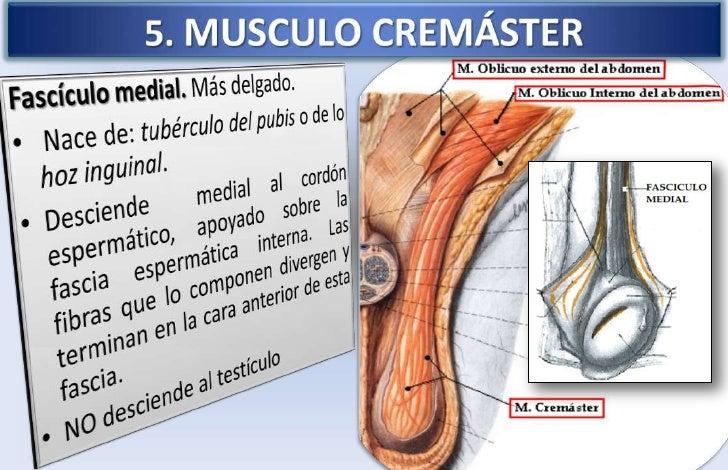 musculo cremaster funcion