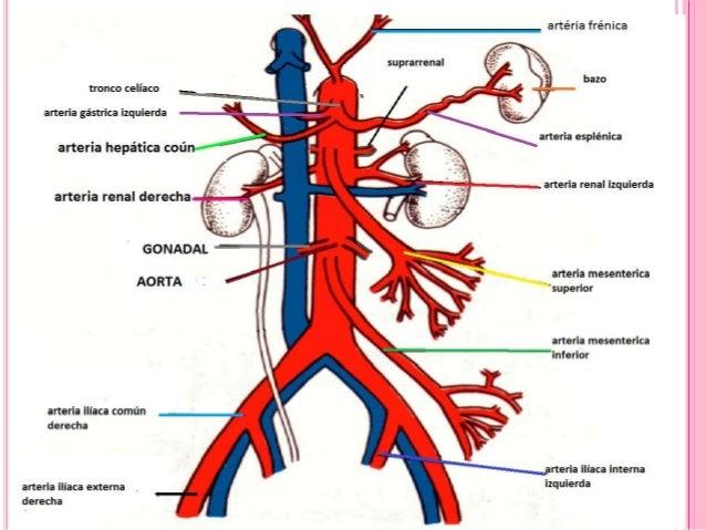 La separación del músculo celiaco - Enfermedad Celiaca