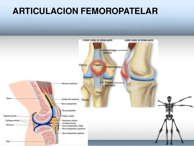 Anato articulaciones