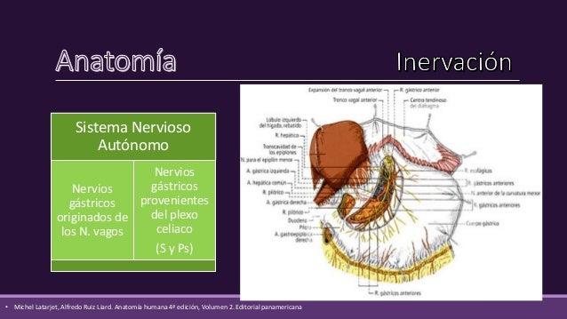 Las funciones del estómago son:  Almacenamiento temporal de entrada de alimentos  Descomposición mecánica de los aliment...