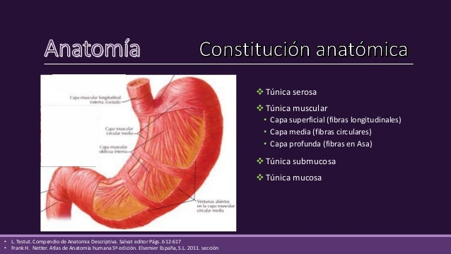  Túnica mucosa (epitelio de células cilíndricas altas)  Glándulas cardíacas se encuentran en el cardias.  Glándulas par...