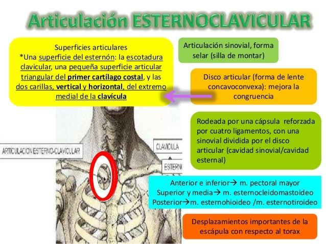 Cintura pectoral anatom a for Esternohioideo y esternotiroideo