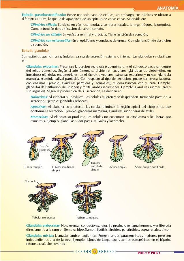 Anatomía 2 - Teoría Wohler