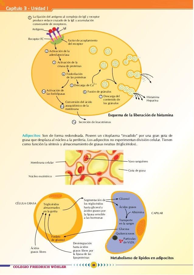Anatomía 3 - teoría Wohler