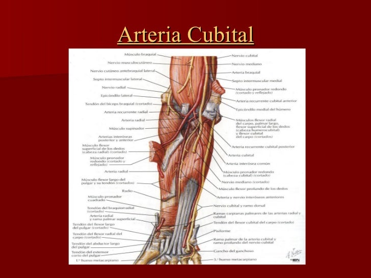 Anatom 237 A Arterias Radial Cubital Y Arco Palmar