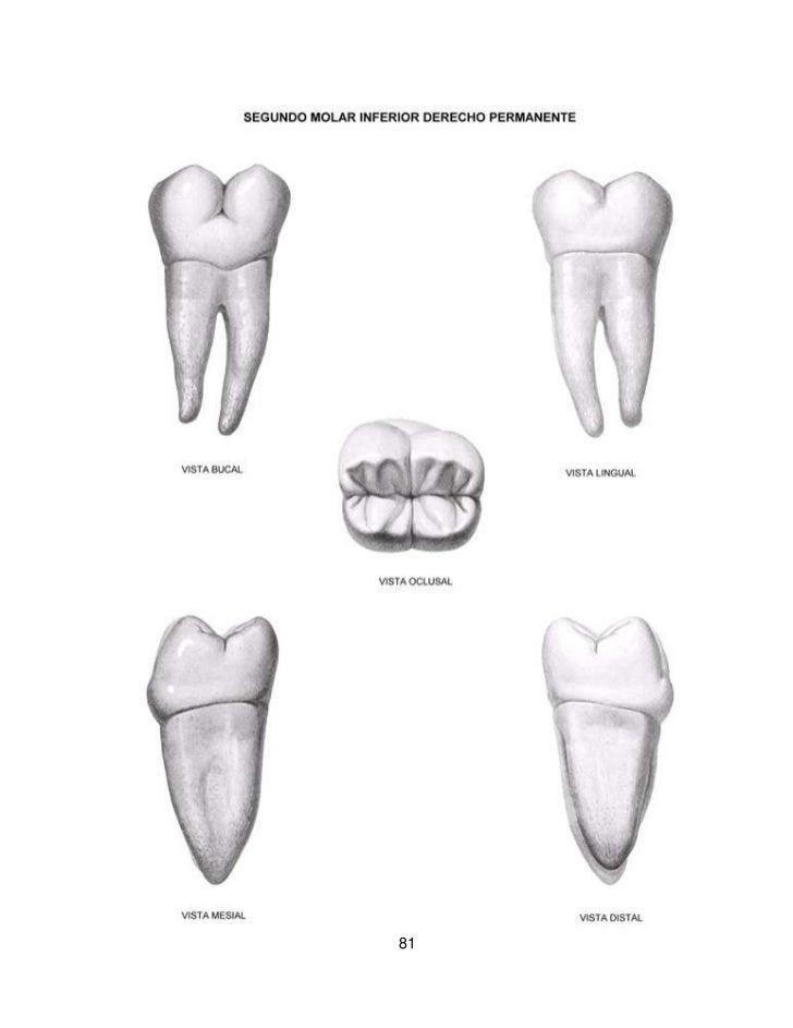 Magnífico Primero Anatomía Molar Mandibular Primaria Motivo ...