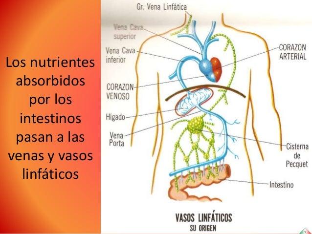 Anatomía esencial humana: Sistema circulatorio