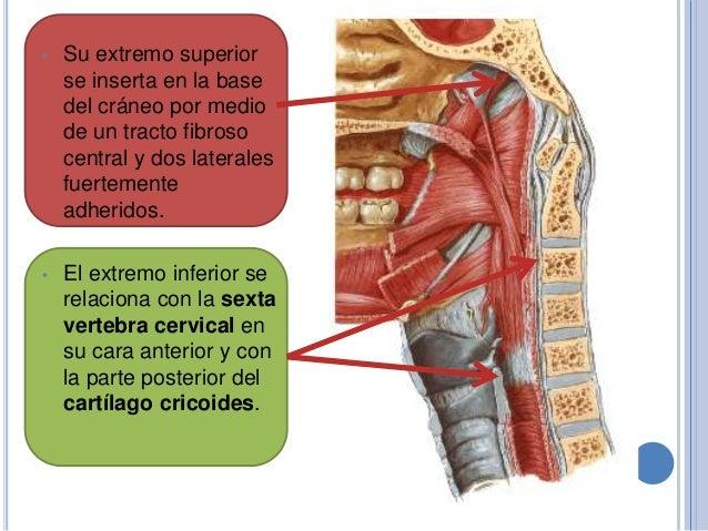 Anatomía de-faringe-y-laringe