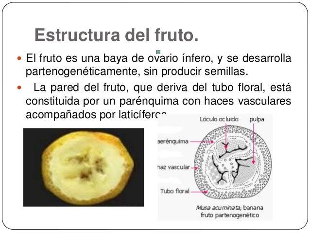 Anatomía Del Fruto De Platano