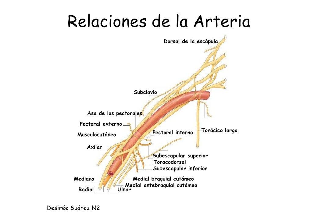 Resumen Anatomía de miembro superior