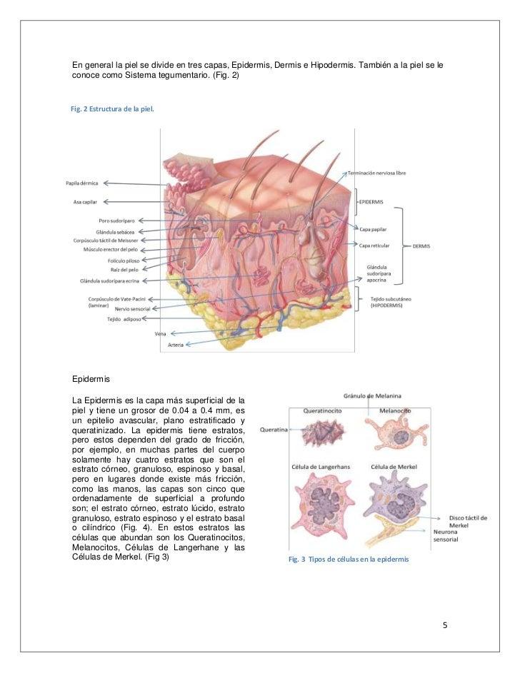 Dorable Anatomía De Las Capas De La Piel Galería - Imágenes de ...